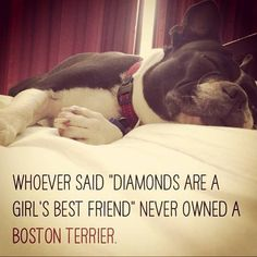 Boston Terrier Dogs are a Girl's Best Friend?? Repin if you Think it's True!! - http://www.bterrier.com/boston-terriers-are-a-girls-best-friend/ - https://www.facebook.com/bterrierdogs
