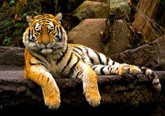 #tigers #animals