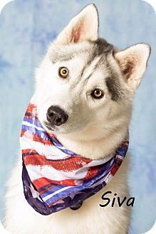 Gilbert, AZ - Siberian Husky. Meet Siva, a dog for adoption. http://www.adoptapet.com/pet/18547540-gilbert-arizona-siberian-husky