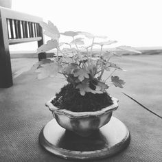 #miniature #bonsai #bonsaitree #plant #tree #gardening #japan #japaneseart #oriental #orientalart #seishi #botany #nature #natureart #arcobonsai #photoftheday #photographer #photooftheday #passion #passionphoto #myphotography #mypointofview #golook #white #black #blackandwhite #blackandwhitephotography #iPhone #iphonephoto #instagram by _meegaaa_