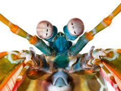 Picture of a mantis shrimp. The mantis shrimp Odontodactylus scyllarus has a bewildering abundance of color receptors—twelve to our three. The eyes also move and perceive depth independently of each other, and can see infrared and ultraviolet light. Weird Creatures, Sea Creatures, National Geographic Animals, National Geographic Photography, Mantis Shrimp, Animal Facts, Marine Biology, Animals Images, Ultra Violet