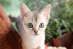 best singapuran kitten / kitty pictures and photos ideas - most affectionate cat breeds