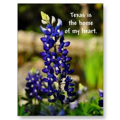 Texas is the Home of my Heart Bluebonnet Poastcard Post Card by fairygirlbooks