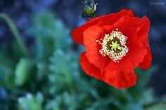 Opium Poppy  DDD    CopyrightⓒNAKIzm