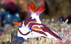 The Nudibranch family (pics)(info)(neat.jpg)(nature) - Bodybuilding.com Forums