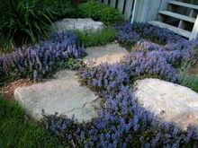 This Ajuga grows fast, so you won't have to wait long to see it fill in, forming a vibrant multi-hued carpet. This attractive groundcover acts as a natural weed deterrent; even the deer leave it alone.