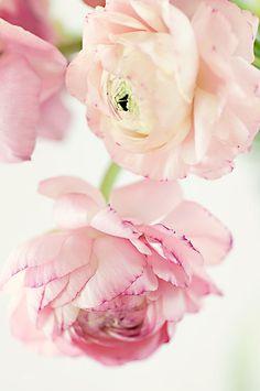 R a n u n c u l u s flowers Grow from bulb. Plant in mid winter for spring blooms My Flower, Pretty In Pink, Flower Power, Pink Flowers, Beautiful Flowers, Begonia, Ranunculus Flowers, Peony, Rose Pastel
