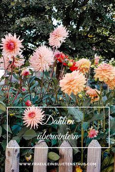 ES IST KALT GEWORDEN UND DIE ERSTEN FROSTNÄCHTE STEHEN VOR DER TÜR. NUN WIRD ES FÜR DIE DAHLIEN ZEIT - SIE SIND NICHT FROSTHART - IN IHR WINTERQUARTIER ZU ZIEHEN. www.fraeuleinbluetenstaub.com #garten #blumen #pflanzen #gärtnern #gartengestaltung Dandelion, Flowers, Plants, Dahlias, Planting Flowers, Cold, Asylum, Dandelions, Plant