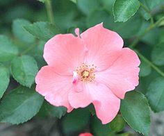 Flower Carpet Coral Disease resistant?
