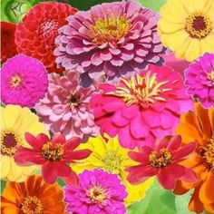 "Amazon.com : 120 Seeds, Zinnia ""Crazy Mixture"" (Zinnia elegans) Seeds By Seed Needs : Patio, Lawn & Garden"
