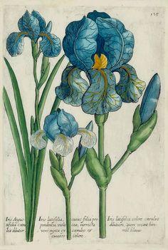 The Antiquarium - Antique Print Map Gallery - Michael Valentini - Iris Angustifolia - Hand-coloured botanical copperplate engraving
