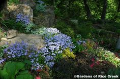 GARDENS OF RICE CREEK: SHADY BOULDER GARDEN  Rock gardens in the shade can harbor wildflowers, hosta and a grand array of tiny ferns and trailing groundcovers.  Large boulders create shelter for moisture-loving rarities that create an unusual garden atmosphere.