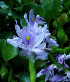 Water Hyacinth- this amazing plant can be edible (if you're not sensitive), made into paper, furniture, used to oxygenate and purify water. It can be used as a biofuel, and the coolest thing about it is that it doubles its population in 1 week. If you have 50, next week you'll have 100. An ultimate renewable resource. But with great power comes great responsibility, this plant is invasive and can grow out of control outside of a contained environment, it is illeagel to posses in some states.