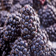 17 Wonderful Blackberry Benefits For Skin, Hair & Health Blackberry Benefits, Blackberry Tea, Dry Fruits Benefits, Benefits Of Berries, Exercise To Reduce Waist, Home Remedies For Diabetes, Bowl Of Cereal, Hair Health, Meals