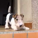 a small step for a man but considerably larger for a little WHFT Fox Terriers, Perro Fox Terrier, Wirehaired Fox Terrier, Welsh Terrier, Airedale Terrier, Wire Fox Terrier Puppies, Wire Haired Terrier, Pet Breeds, Jack Russell Terrier