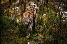 A lynx approaches cautiously to prey...