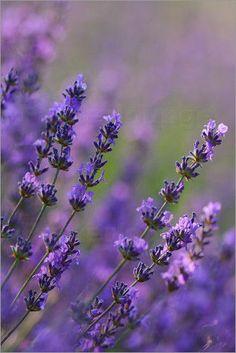 Poster / Leinwandbild Lavendel - M. Tenbergen
