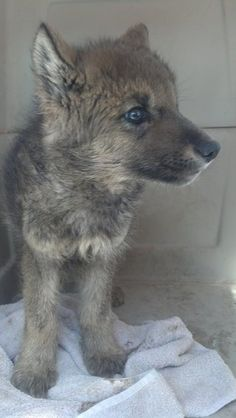 Rescued Idaho puppy turns out to be a wolf! Watch out sweetheart, wolves aren't safe in Idaho. I hope no one shoots your mama.