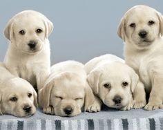 Labrador Retriever puppies wallpapers