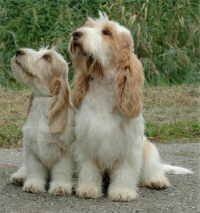 Grand Basset Griffon Vendeen, not well known in the US.   aka GBGV.