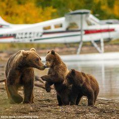 Black Bear, Brown Bear, Mother Bears, Trophy Hunting, Apex Predator, Animal Rescue Site, Wildlife Conservation, Alaska, Pup
