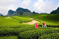 Một ngày mới lên Mộc Châu được bao phủ trong lớp sương mờ lấp ló bởi những cánh đồng hoa, đồng lúa, đồi chè mơ mộng và xinh đẹp.