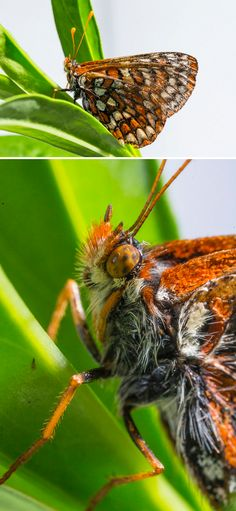 The Quino checkerspot butterfly, native to San Diego county, is on the brink of extinction, but we partnered with U.S. Fish and Wildlife Service to change that.