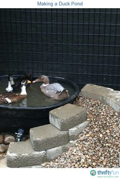 My husband finally had a chance to make our ducks a permanent pond. It has an awesome gravel ramp and a faucet drain to make water changes super easy!
