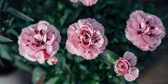 5 μυστικά για φροντίδα γαρυφαλλιάς Rose, Plants, How To Make, Gardening, Garden, Roses, Lawn And Garden, Planters, Plant