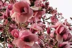 Magnolia 'Iolanthe' is one of our star performers here and has achieved considerable stature after 50 years.