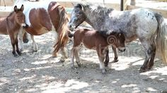 Video about Pony with cubs at shade in paddock. Video of horse, nature, child - 77397933 Cubs, Pony, Horses, Stock Photos, Animals, Pony Horse, Animales, Bear Cubs, Animaux