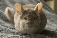 Beautiful Chinchilla <3