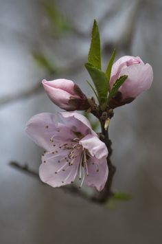 Terrific Screen peach Blossoms Concepts Cherry Blossoms are generally one of the most beautiful plants, being released in bright colors. Botanical Flowers, Flowers Nature, Spring Flowers, Flor Magnolia, Beautiful Flowers Wallpapers, Peach Blossoms, Spring Blossom, Flower Aesthetic, Flower Pictures