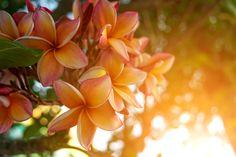 How to Grow Frangipani from Cuttings - hipages.com.au