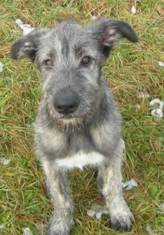 Sweet face on this Irish Wolfhound pup Cairn Terrier, Irish Wolfhound Puppies, Irish Wolfhounds, Pet Dogs, Dogs And Puppies, Scottish Deerhound, Raining Cats And Dogs, Lurcher, Dog Id