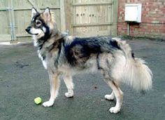 Utonagan - one day I'll have a dog like this and then my life will be complete. Beautiful Dog Breeds, Beautiful Dogs, Pet Dogs, Dogs And Puppies, Pets 3, Doggies, Utonagan Dog, Baby Animals, Cute Animals