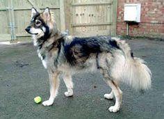 Utonagan - THIS IS A DOMESTICATED DOG???!! It's beautiful!
