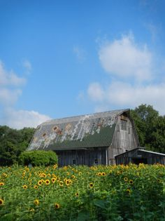 Sunflowers on the JP Parker Flowers Farm. #FlowerPower #pictureperfect http://www.jpparkerco.com/gallery/the-farm/
