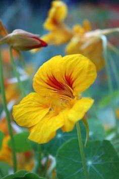 ☀ Capucine- Nasturtium: Photo by Photographer Jenny Ross* Edible Plants, Edible Flowers, All Flowers, Yellow Flowers, Beautiful Flowers, Yellow Flower Photos, Plant Tattoo, Different Flowers, Beautiful Gardens