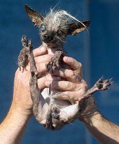 Image: World's Ugliest Dog Contest