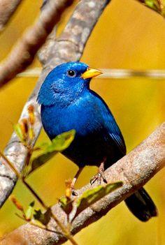 Yellow-billed Blue Finch (Porphyrospiza caerulescens). A beautiful bird of Bolivia and Brazil, it is threatened due to habitat loss. photo: Bertrando Campos.