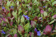 Ceratostigma plumbaginoides   (Loodkruid) - in rechthoekige plantenbakken op terras, is eigl een bodembedekker, wil wel zon! via deze site te bestellen!