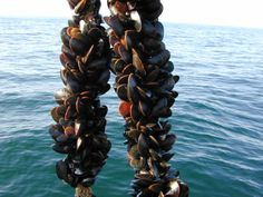The ethical case for eating oysters and mussels Cooking Mussels, Blue Mussel, Chemical Waste, Chardonnay Wine, Marine Fish, Growing Grapes, Fresh Seafood, Wine Making