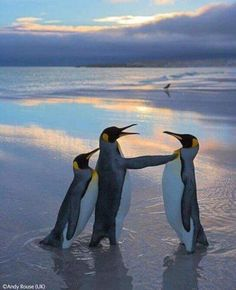 Rival kings - Andy Rouse - Wildlife Photographer of the Year 2006 : Behaviour: Birds - Highly commended Animals And Pets, Funny Animals, Cute Animals, Beautiful Birds, Animals Beautiful, Animals Amazing, Photo Animaliere, King Penguin, Emperor Penguin