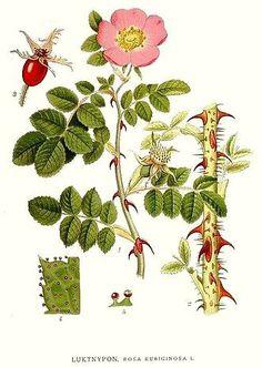 Rosa eglanteria - Wikipedia, la enciclopedia libre Rosa mosqueta.