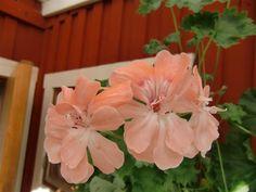 ZONARTIC  **** LARA ENVOY ****  på Tradera.com - Pelargoner - Krukväxter