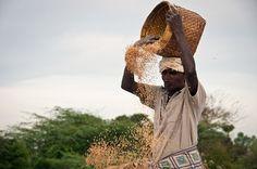 rice-harvest-south-india-0097.jpg (740×491)
