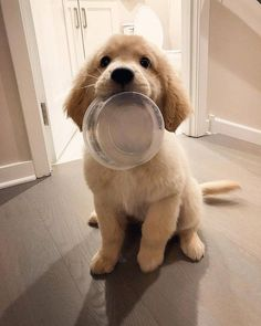 A list of items every Golden Retriever puppy owner must have to help take care of their new dog. Cute Baby Dogs, Cute Dogs And Puppies, I Love Dogs, Doggies, Lab Puppies, Shitzu Puppies, Poodle Puppies, Puppies Tips, Teacup Puppies