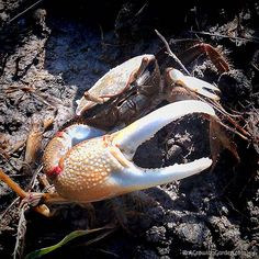 Red Jointed Fiddler Crab