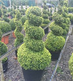The Topiary Calendar... May — Crown Topiary